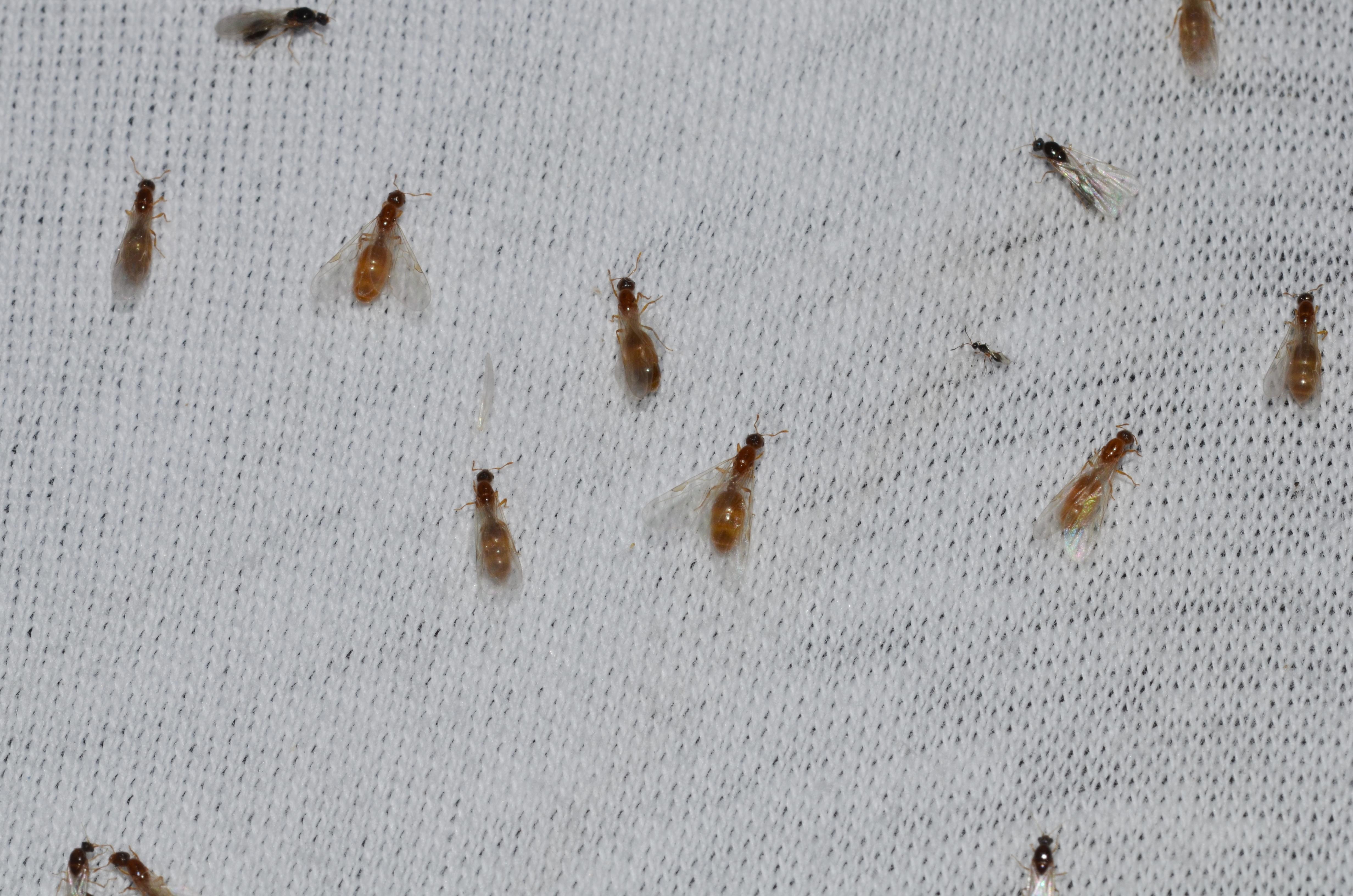 Bed Bugs Borax How