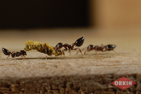 acrobat ants carrying food