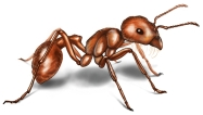harvester ant