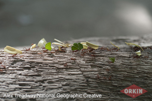 natgeo leafcutter ant