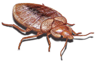 picture of bed bug