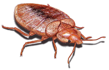 bed bugs how to get rid of bedbugs