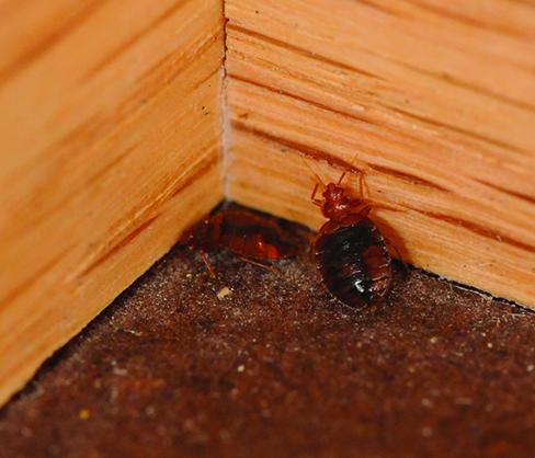 bed bug in corner