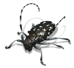 illustration of asian long horned beetle