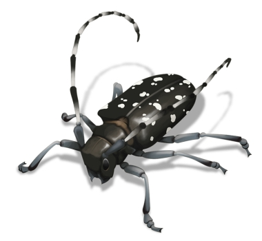 image of asian longhorned beetle