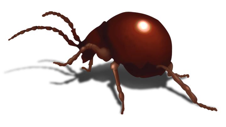 Spider beetle vs bed bug