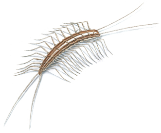 picture of a centipede
