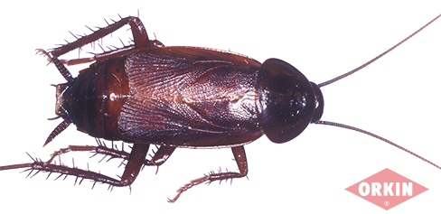 Male Adult Oriental Cockroach