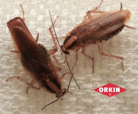 two cockroaches crawling