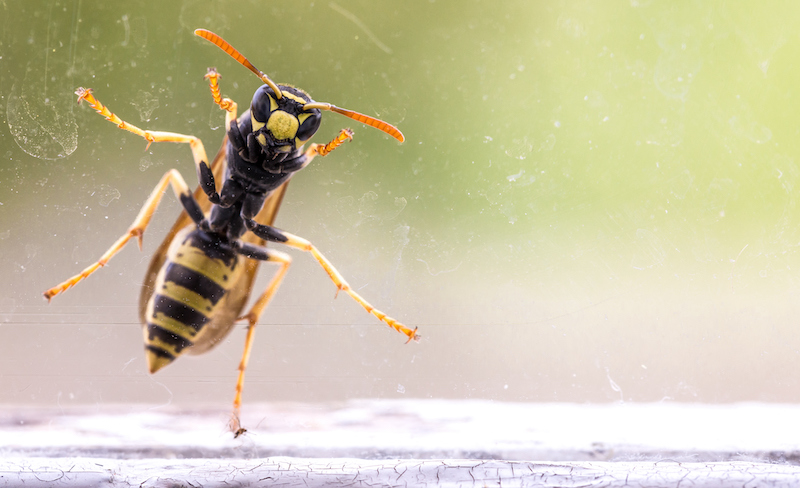 wasp on a window
