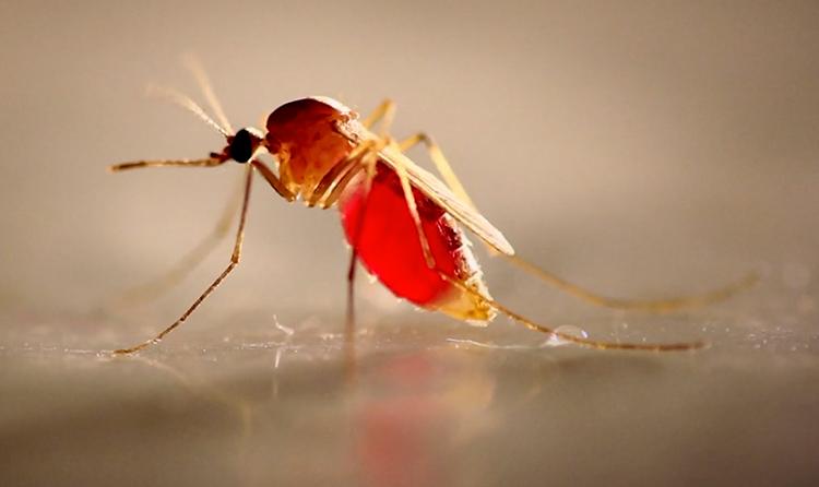 orkin mosquito