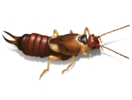 Earwigs