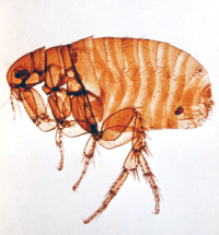 Dog Flea Illustration
