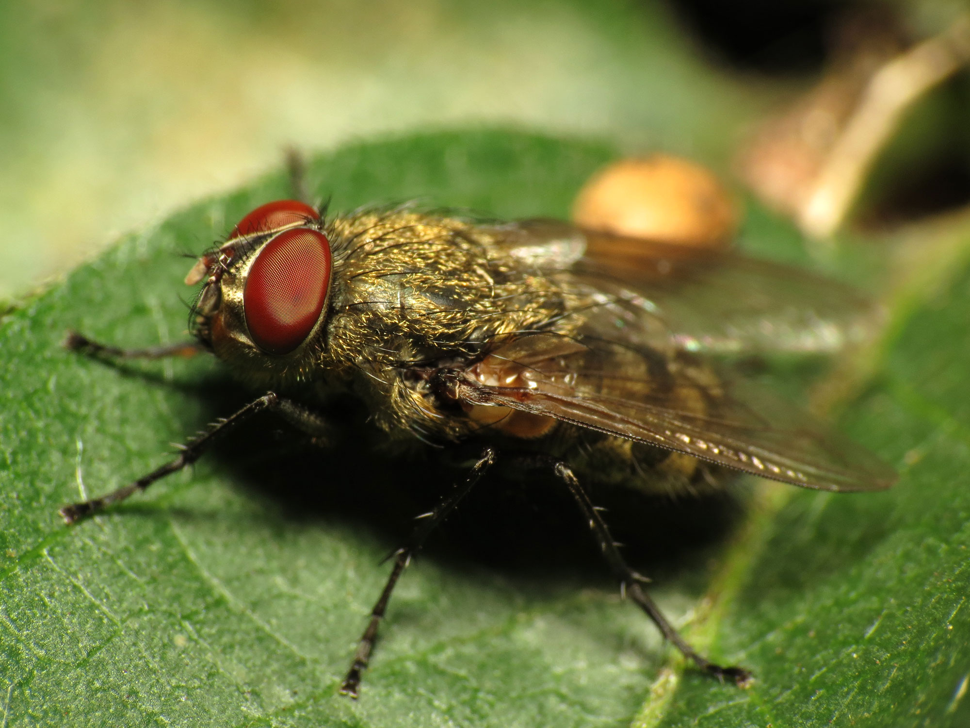 Cluster Fly Facts Amp Control How To Get Rid Of Cluster Flies