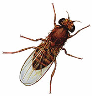 Fruit fly picture