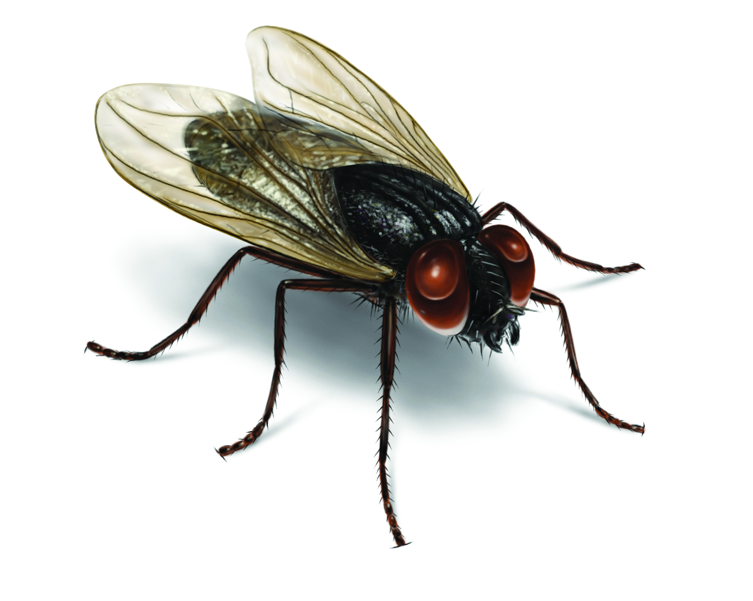 House Fly Control & Facts: Get Rid of House Flies