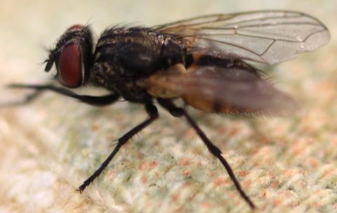 single fly