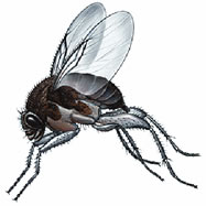 image of a phorid fly
