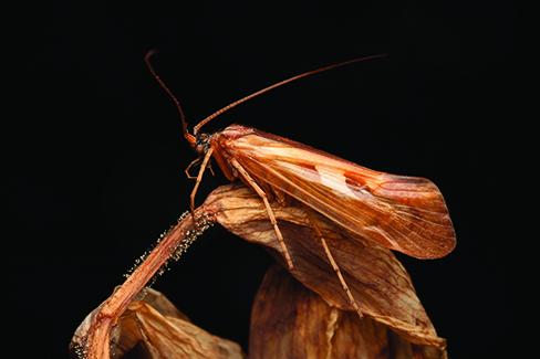 caddisfly image