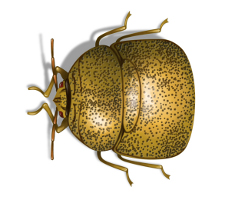 kudzu bug illustration