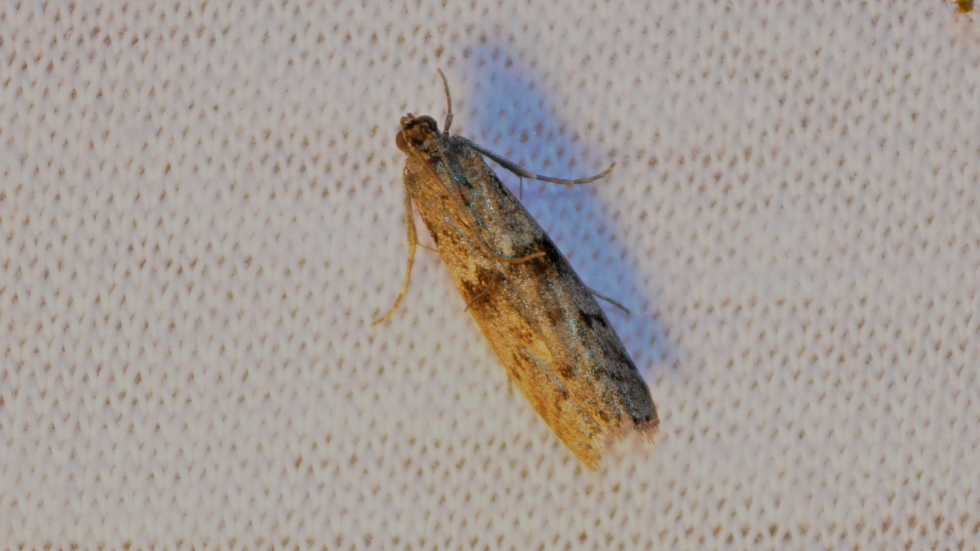 Home ? Other Pests ? Moths ? Mediterranean Flour Moths
