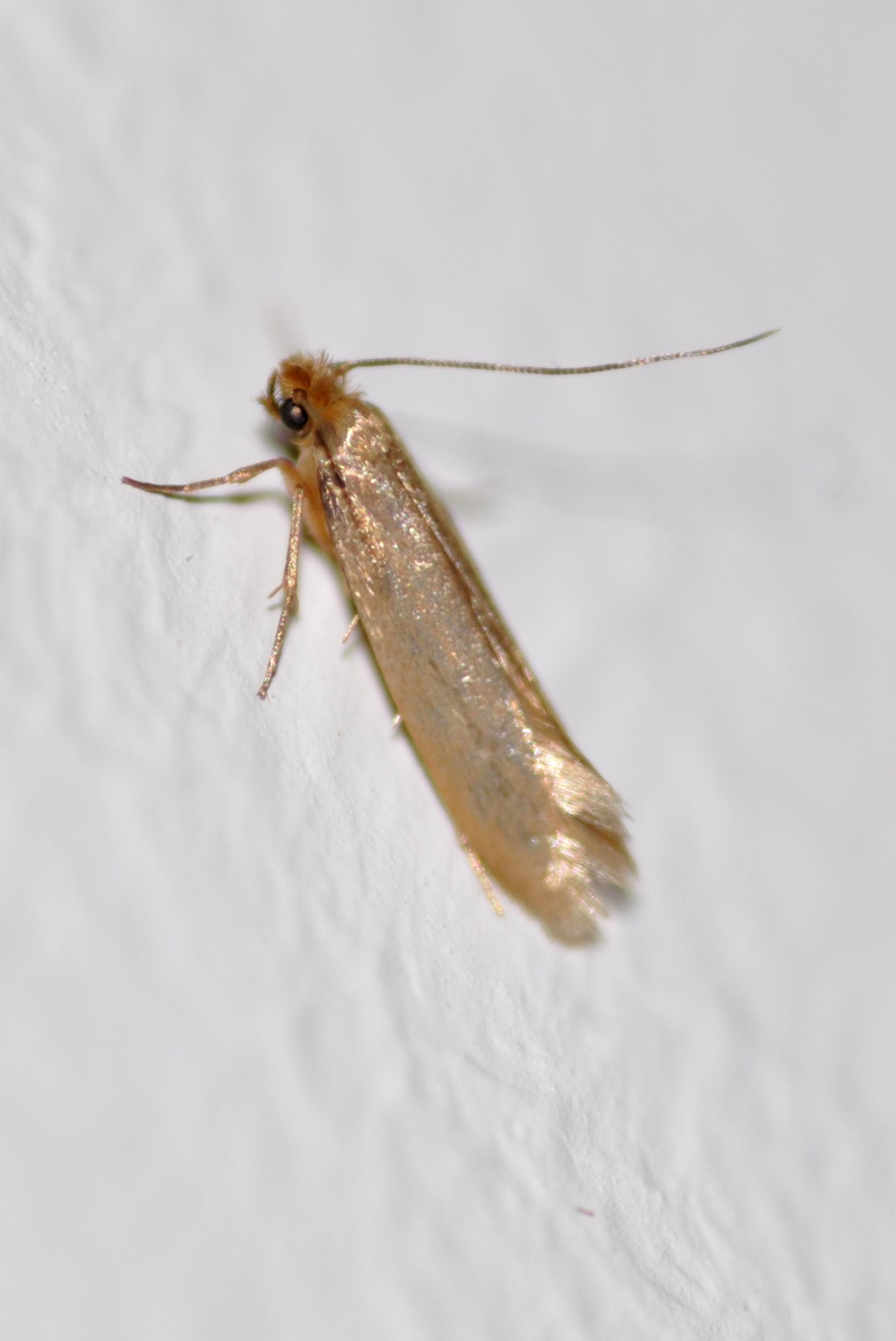 Webbing Clothes Moth Clothes Moths