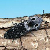 Click Beetle image