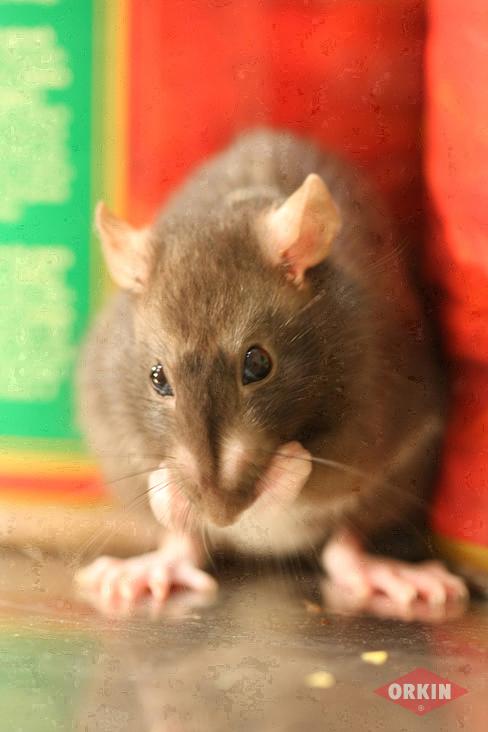 norway rat image