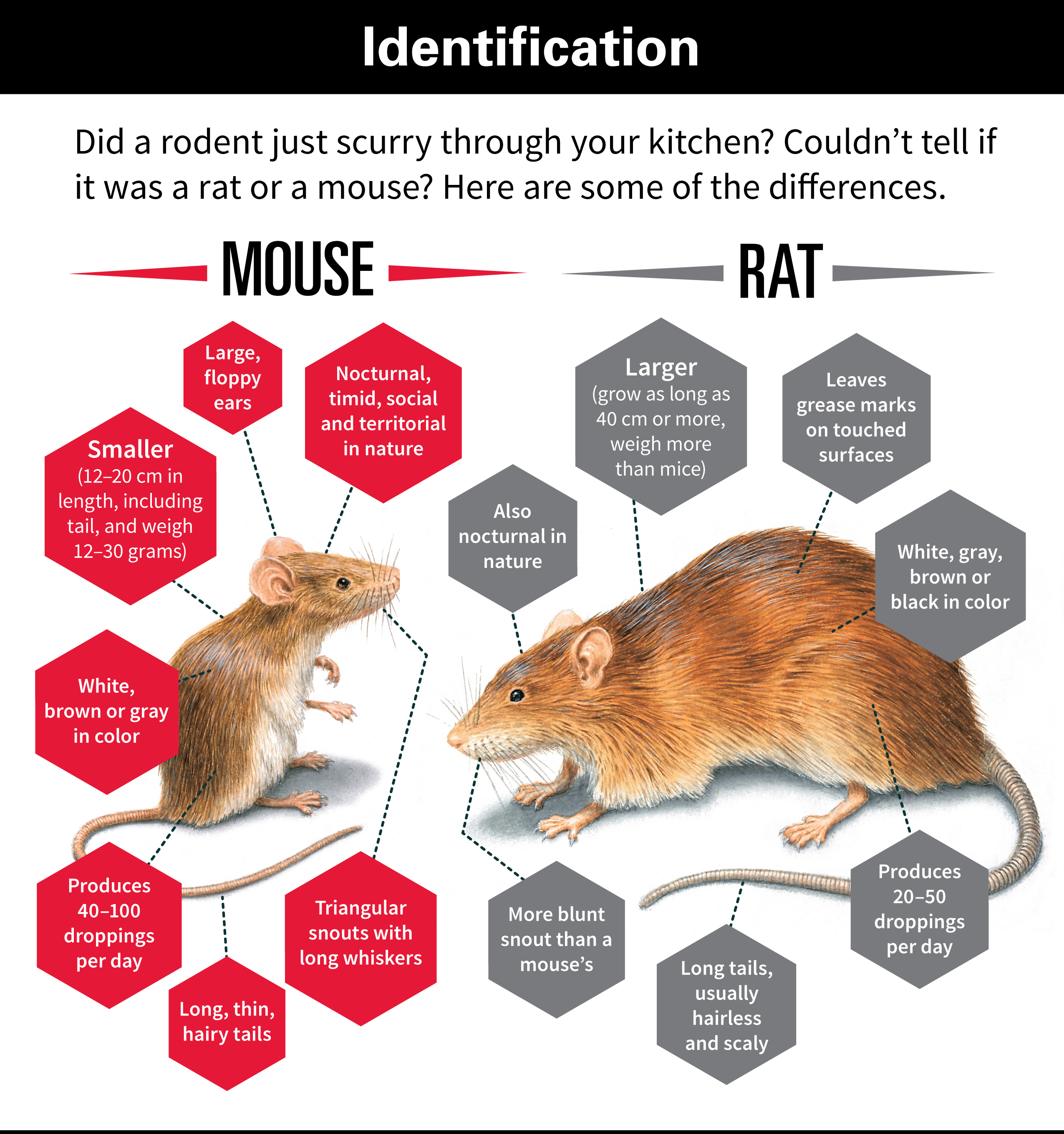 Differences Between Rats And Mice