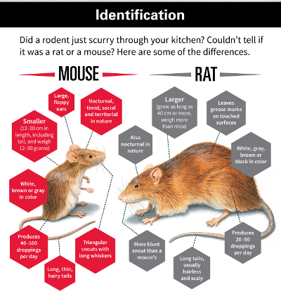 difference between rats & mice chart