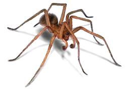 foto de Arañas Vagabunda