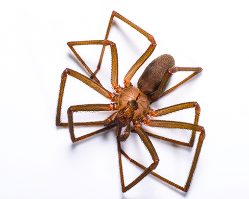 brown recluse spider