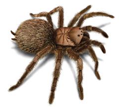 foto de tarantulas