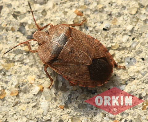 appearance of stink bug