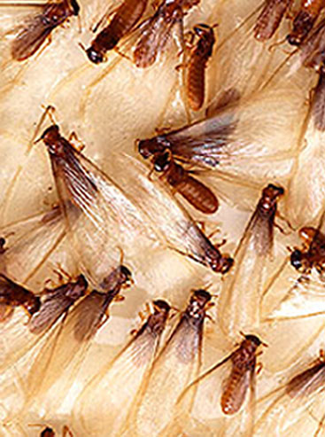 image of flying termites