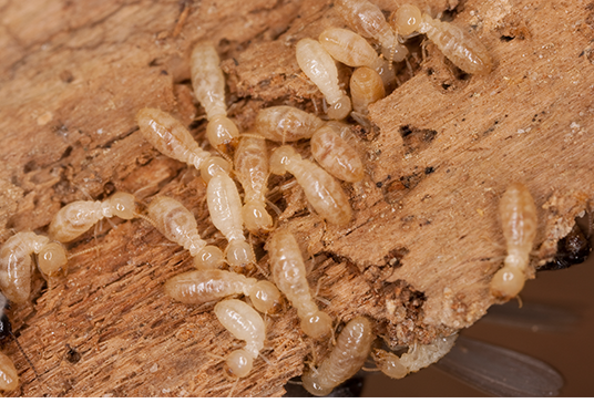 termites crawling on wood