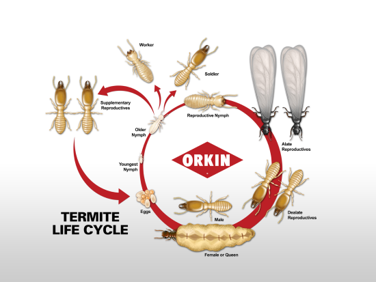Termite Life Cycle
