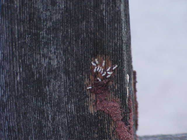 Picture of Termites on Wood Siding of a House