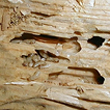 Drywood Termite Wall Damage