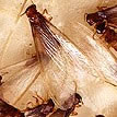 Formosan Termite Swarmer