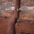 Termite Mud Tube