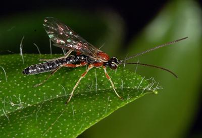Ground Wasp