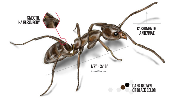 labeled Argentine ant drawing
