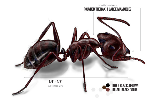 carpenter ant illustration