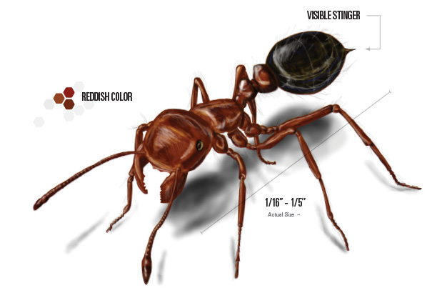 labeled drawing of a fire ant