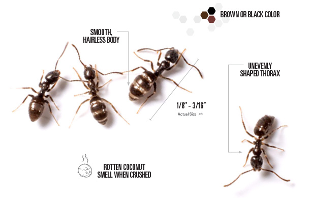 labeled pictures of odorous house ants