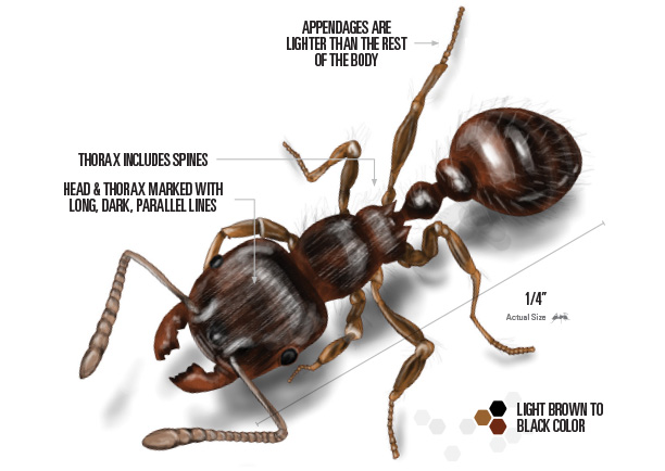 Drawing of labeled pavement ant