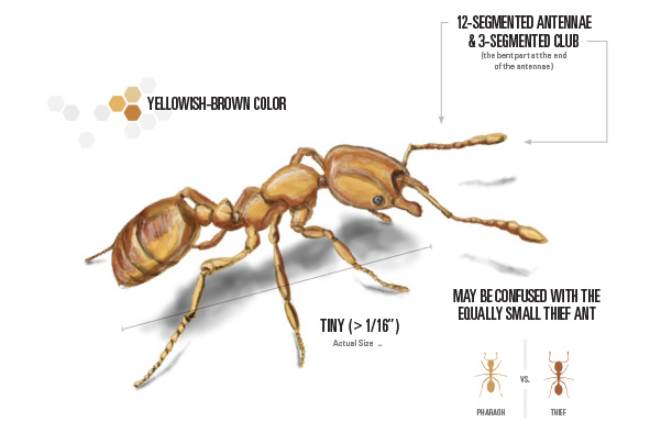 pharaoh ant illustration