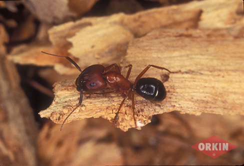 carpenter ant red coloration