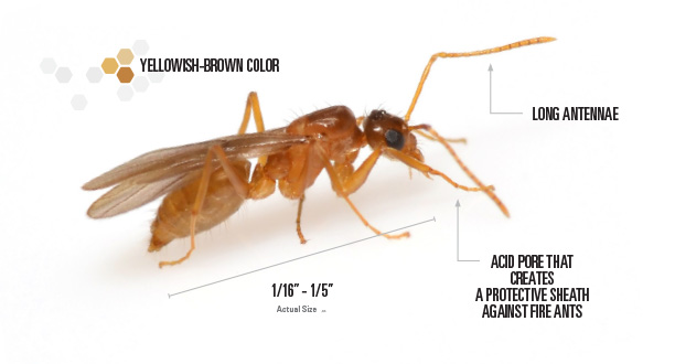 Labeled picture of a tawny crazy ant